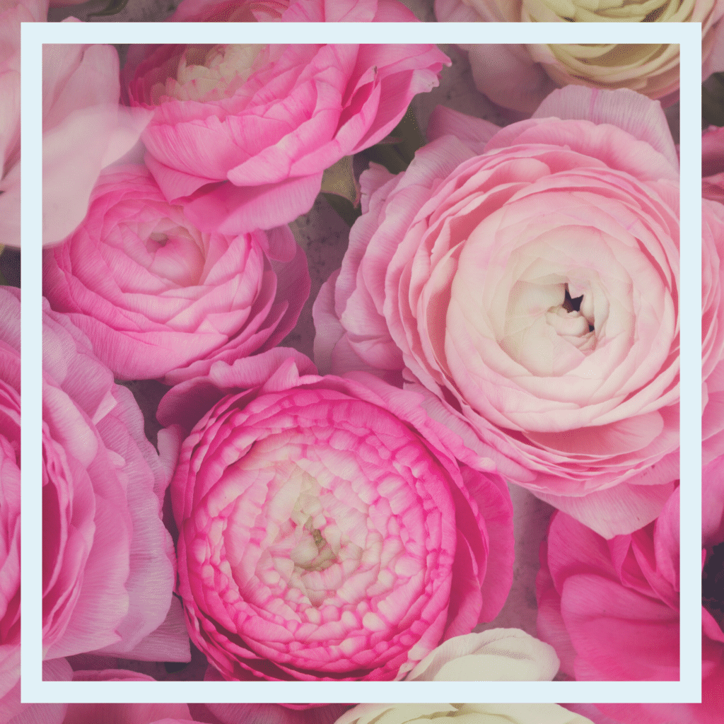 Ranunculus in shades of Pink