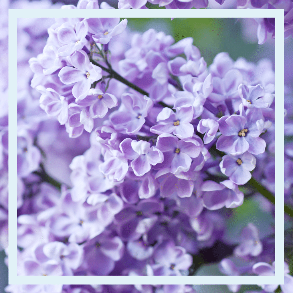 Lilac in lavender are one the must have flowers of spring
