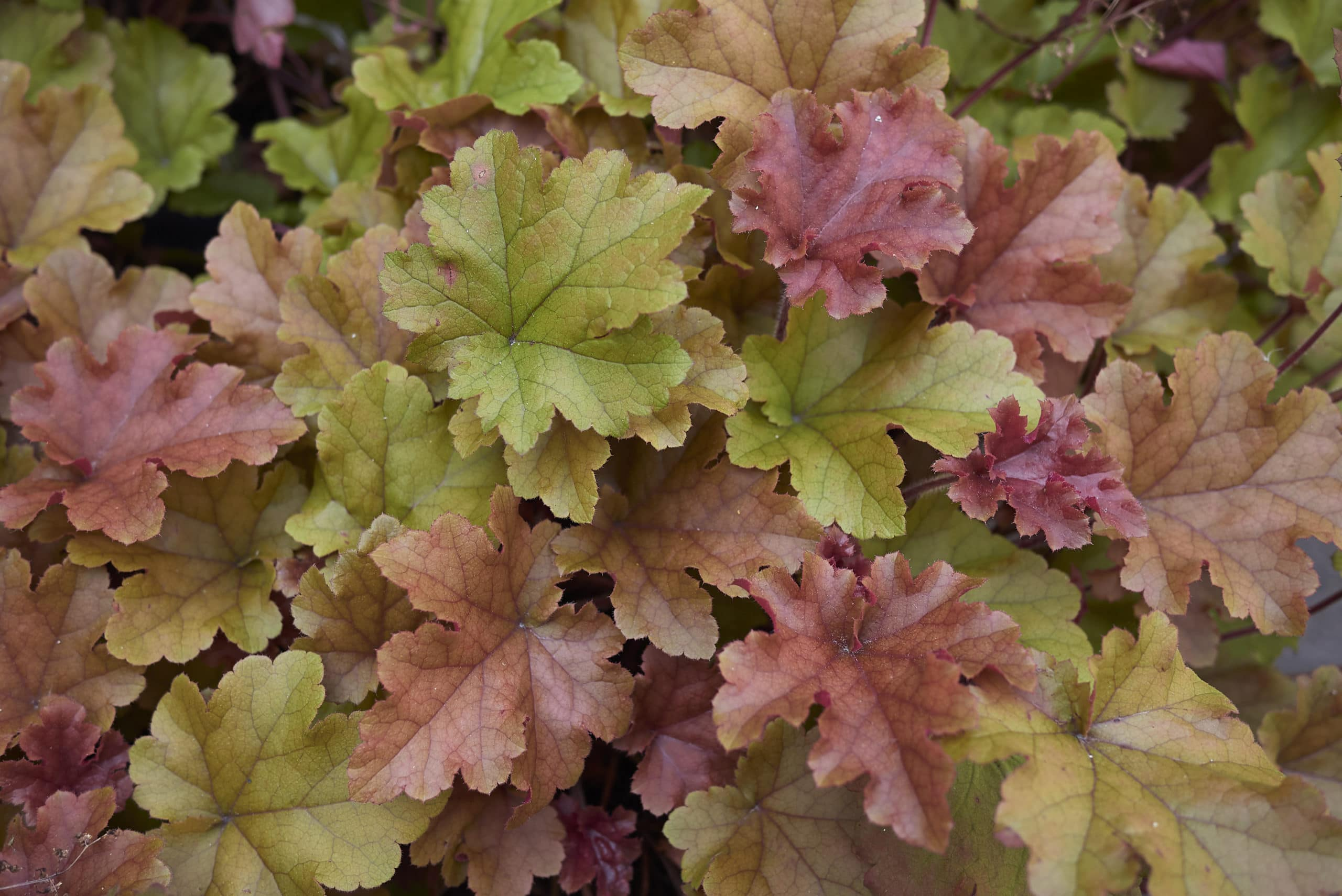 Heuchera foliage with colorful yellow green and burgundy