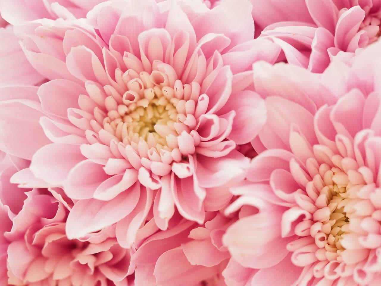 Pink Dahlias for Blog Header